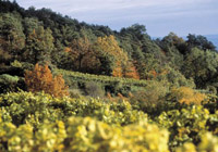 Austrian vineyard in the fall